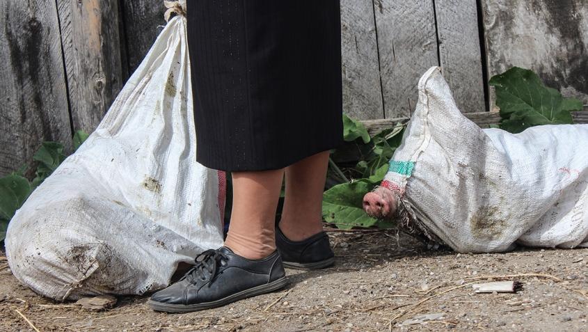 schweine in rumänischem Markt