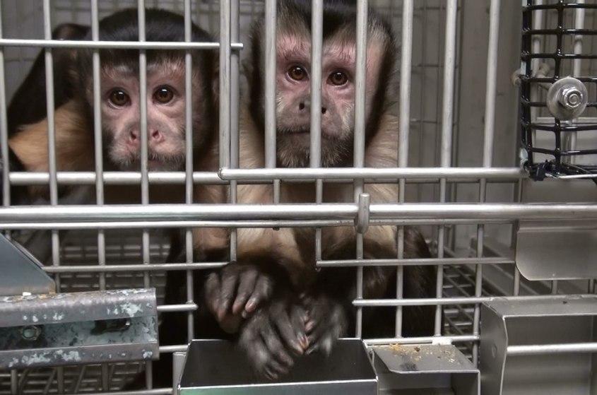 Tierversuche-Affen-NIH-054-c-free-use