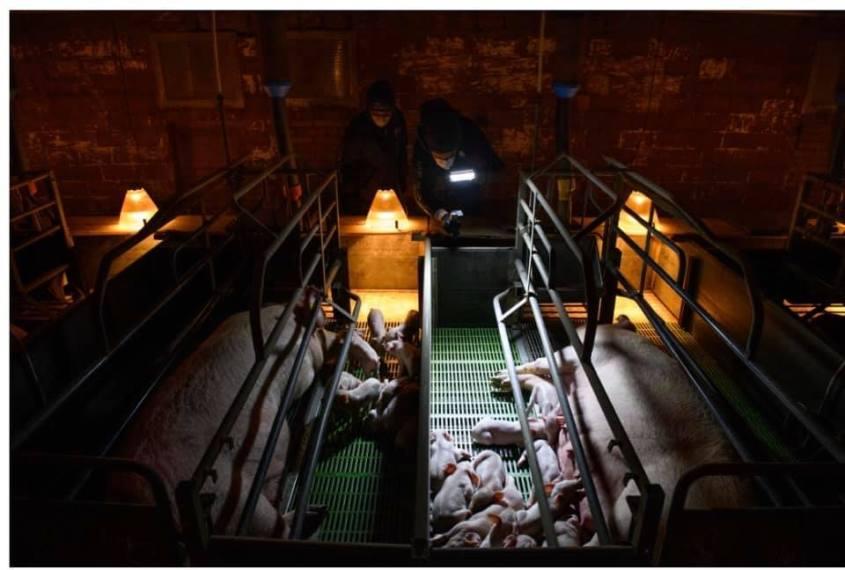 brutkasten für schweinen