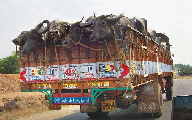 grausame Kuh Transporte- Indien jpg