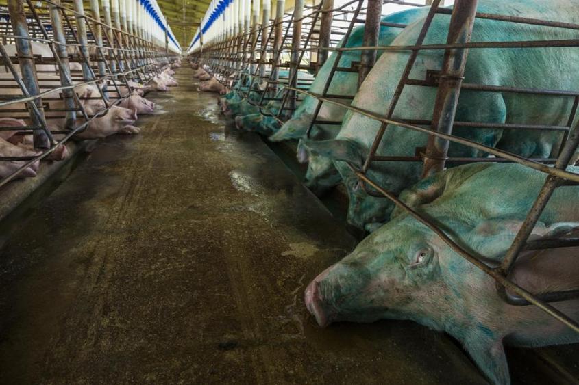 massenproduktion-nahrungsmittel-mit schweine