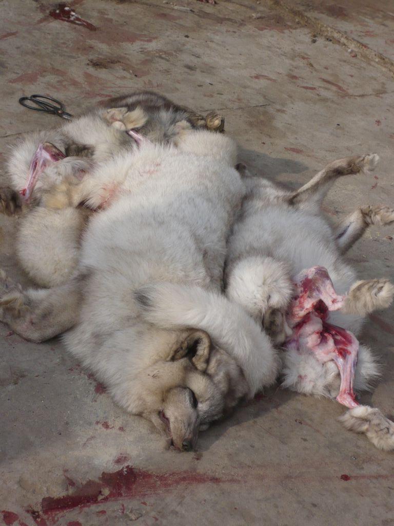 Bilder von Chinas grausamer Pelzindustrie.