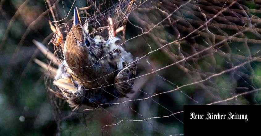 gefangener Vogeleg