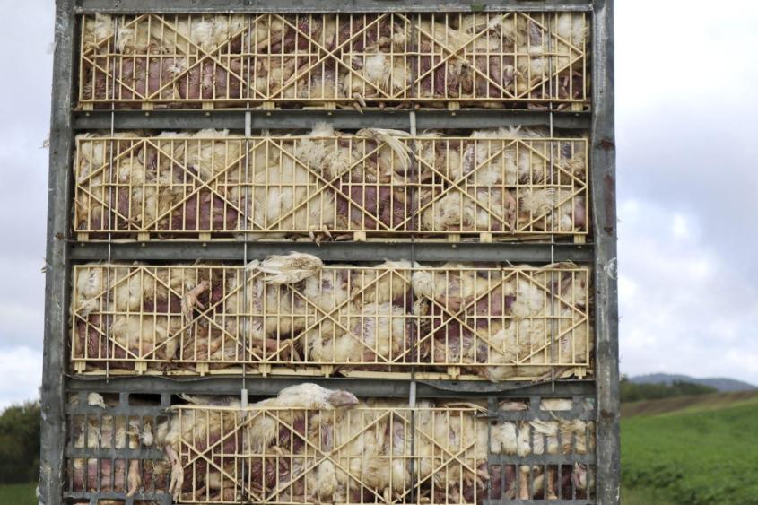 hühner tot 6jpg