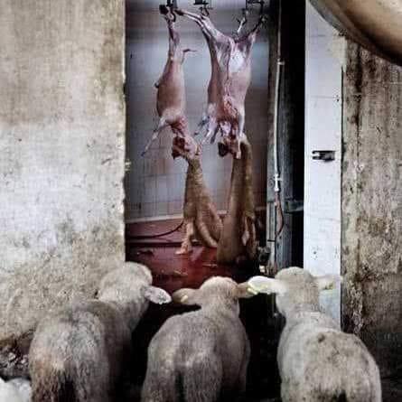 Schafen, die schlachten beobachtenn