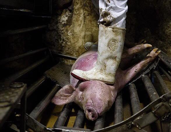 Schwein unter Stiefel des Schlachters_n