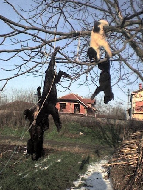 Serbia - stray dogs drowned and then hund from trees