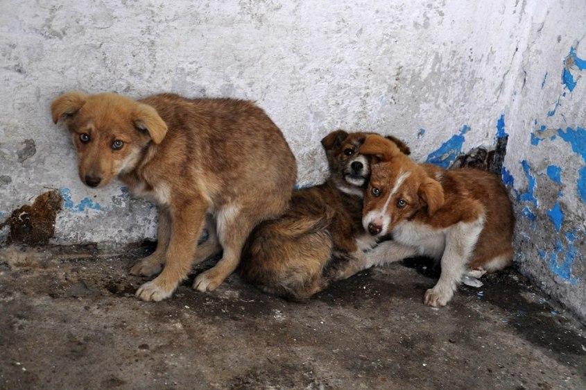 Strassenhunde-Rumaenien-