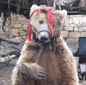 tanzendes Bär
