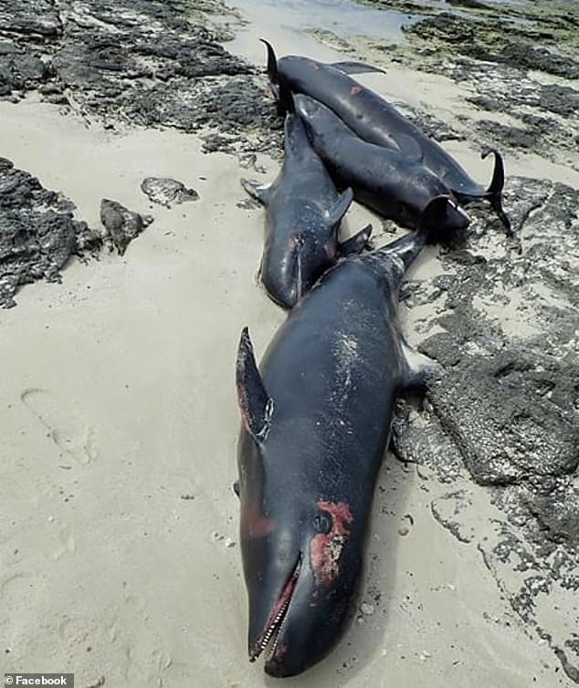 tote dolphine in islandpg