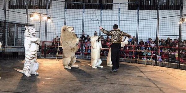 Zirkus Akrobatik mit Leopardpg