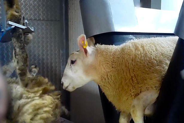 0_Sheep-beheaded.4jpg