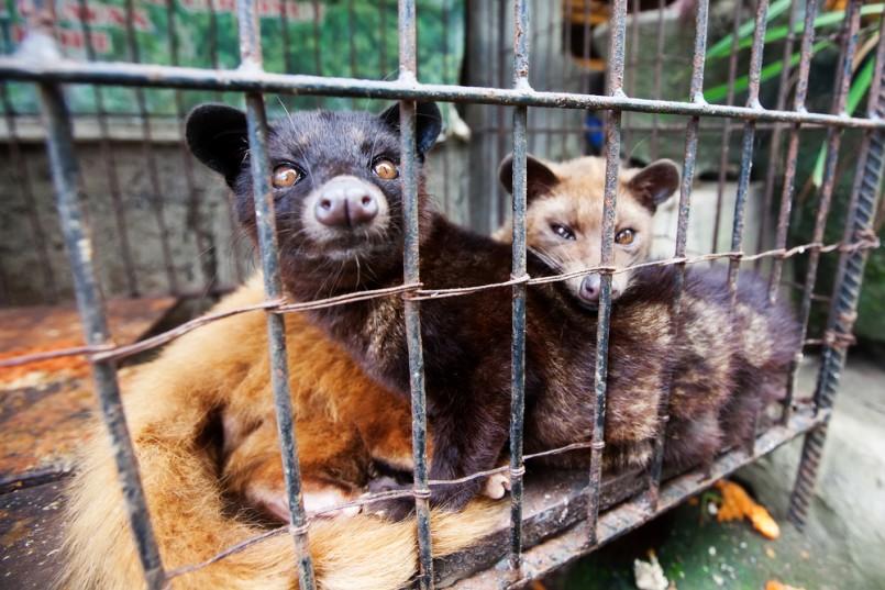 Civet-Kopi-luwak-805x537