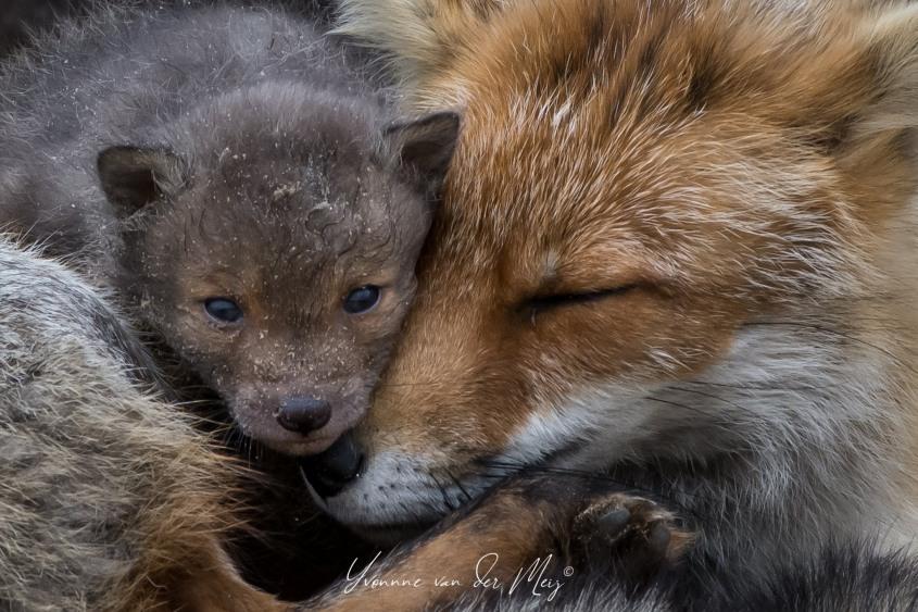 Fuchs mit Jungeno