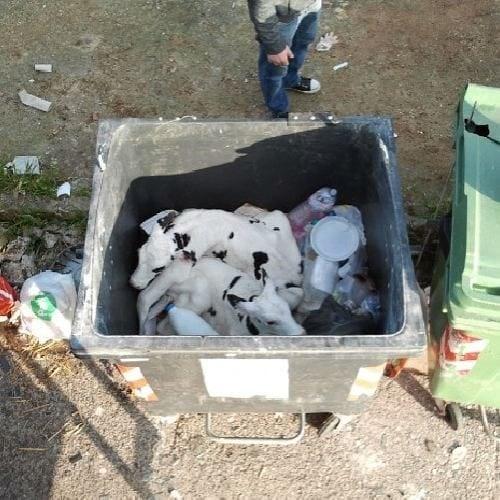 kälber in Mülltonnen