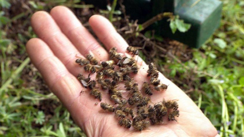massensterben von Bienenjpg