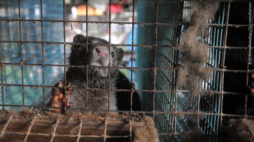 Pelz Tier im Käfig