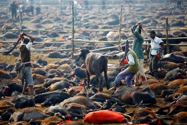 schlachter in Gadhimai