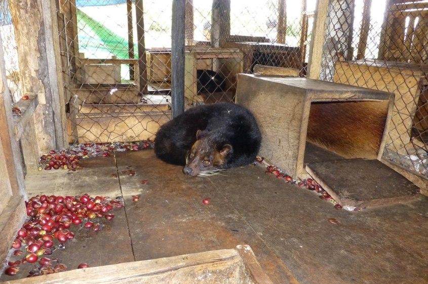 Schleichkatzen-Kopi-Luwak-