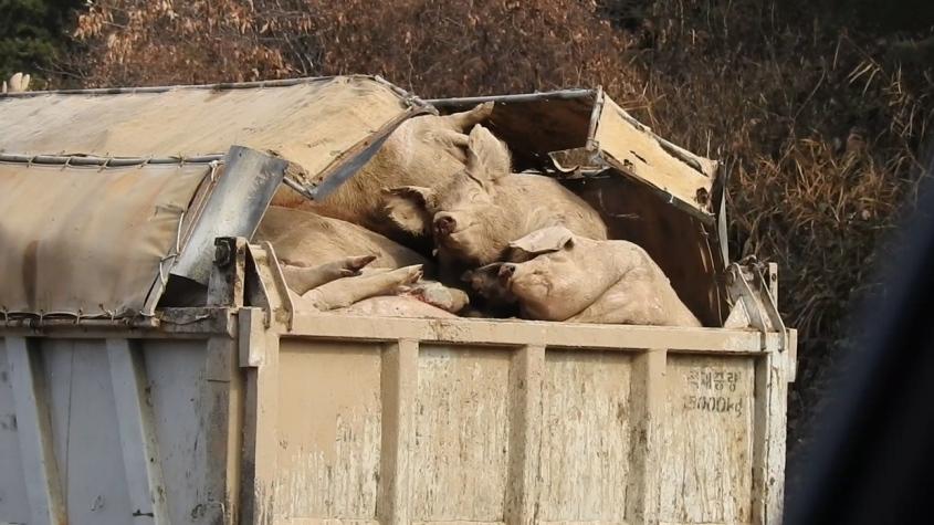 schweine im Container, Korea pg