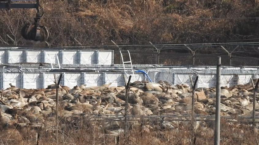 schweine in Korea, totjpg