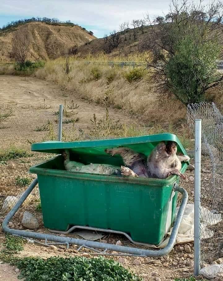 Schweine in Müllkontainer jpg