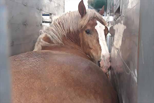 Tiertransport_Schlachtpferde_Italien_2019_07_20