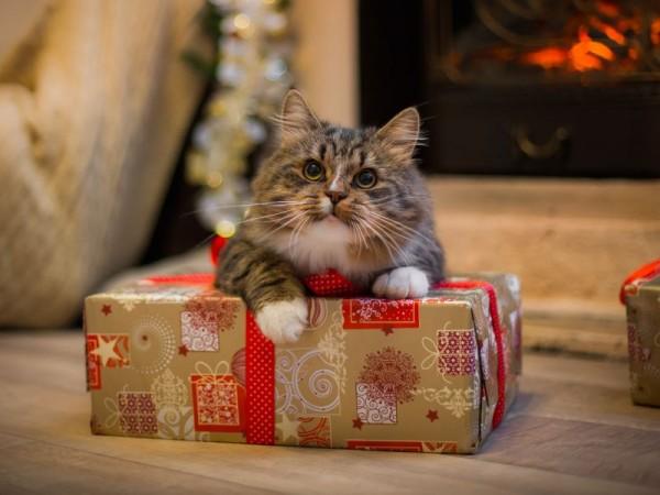 katze-weihnachtsgeschenk-shutterstock-dezi
