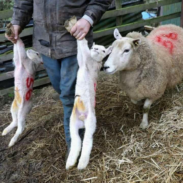 Schafmutter mit gestohlenen Lämmer_n
