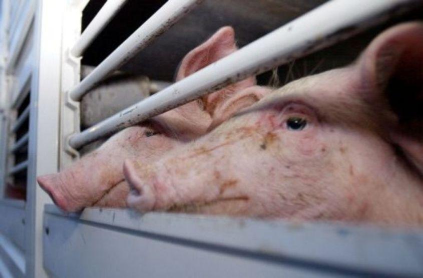 tiertransport mit schweinepg