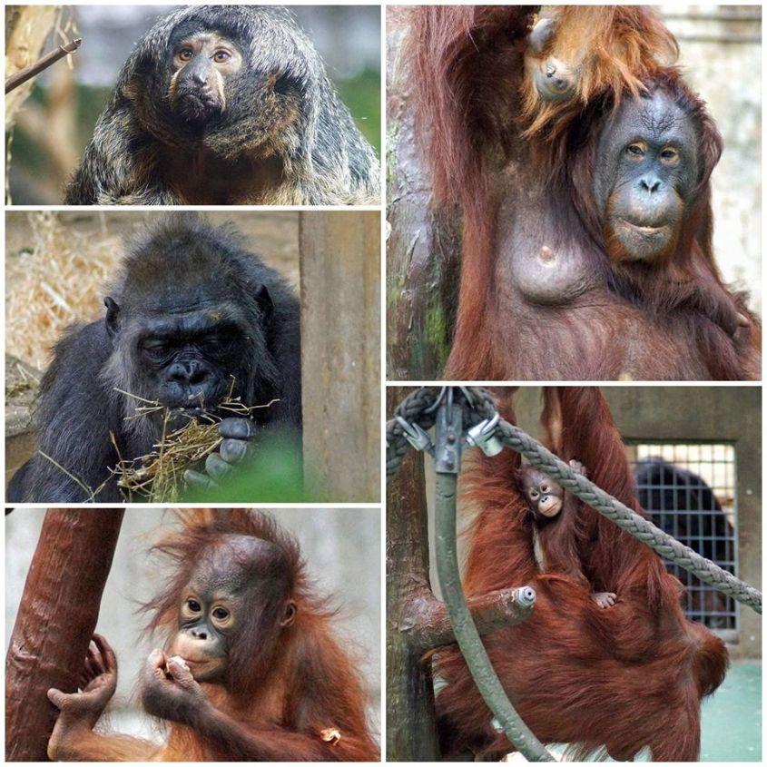 affen im Zoo Krefeldo