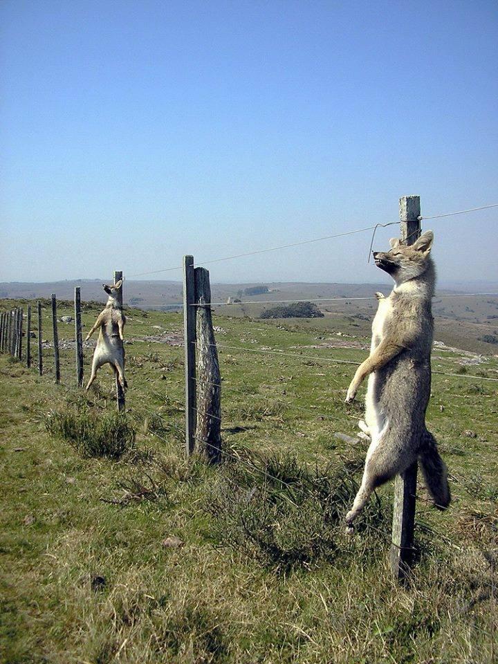 aufgehängte Wölfe Patagonienpg