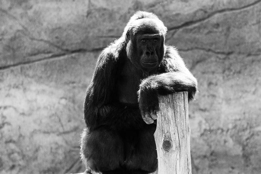 gorilla in krefeld Zoo