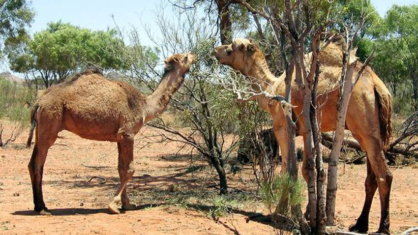 kamelen australiaeg