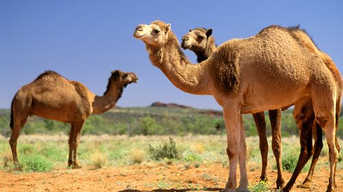 kamelen australienpg