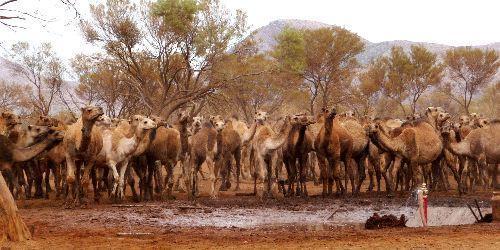 kamelen in Australia pg