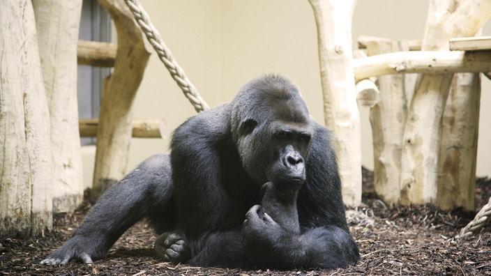 krefeld-massa-gorilla-100~_jpg