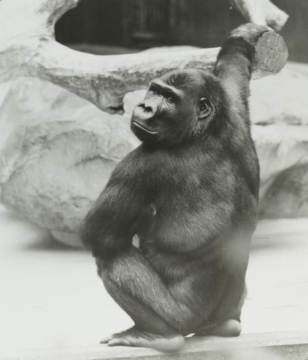Massa Gorilla Krefeldpg