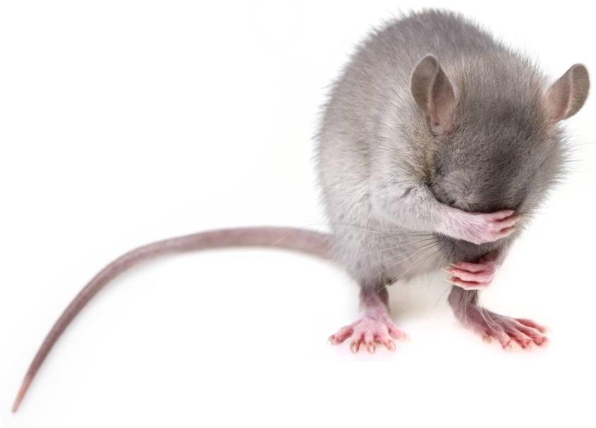 Maus mit verstecktem Kopf_o