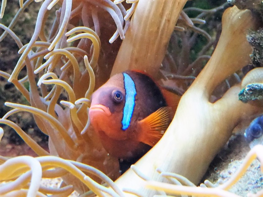 Nemo-.Australia jpg