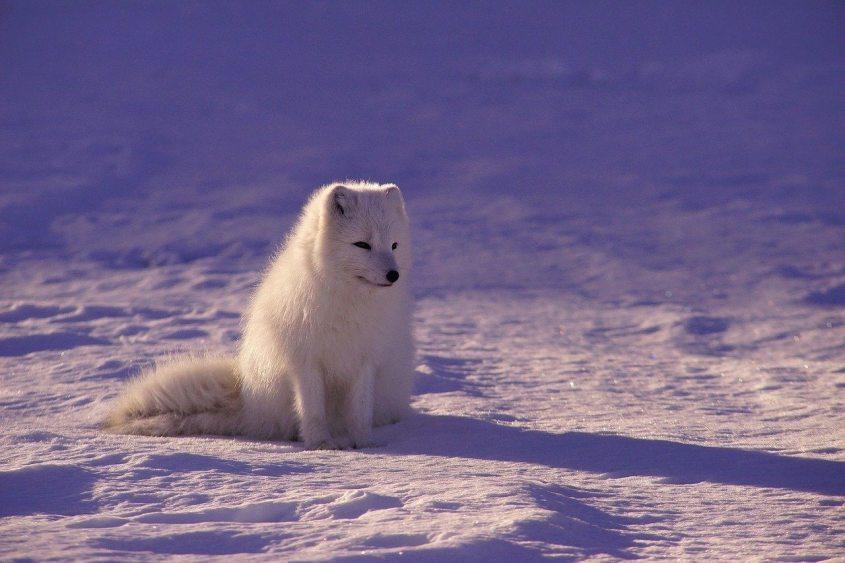 polar Fuchs