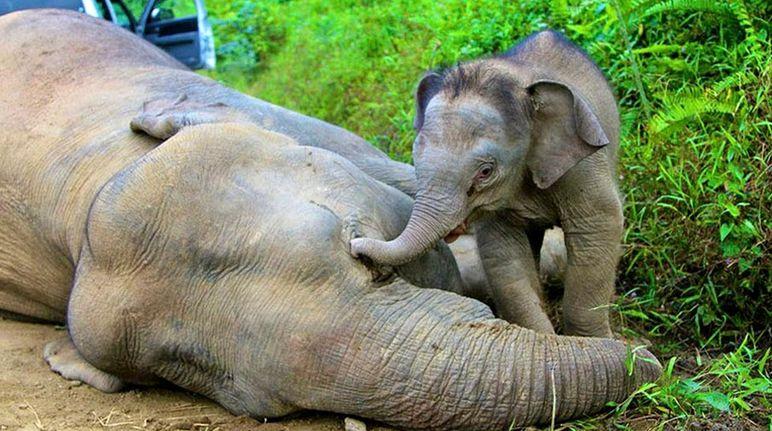 sabah-pygmy-elefanten