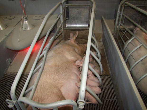 Schweinestall---Kastenstand-34414-detailp