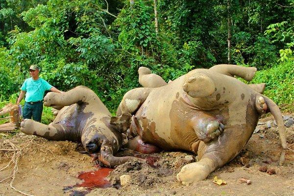 tote elefanten pg