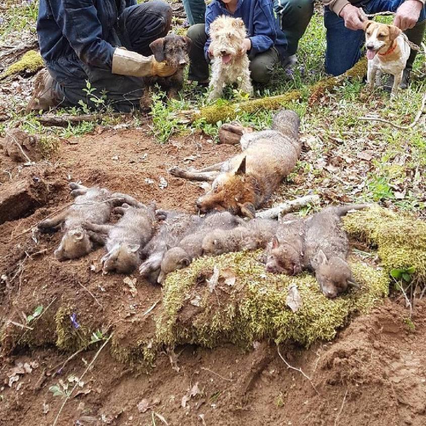 Tote Füchse mit Kleinen n