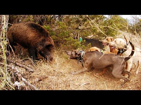 wildschwein und hunde pg