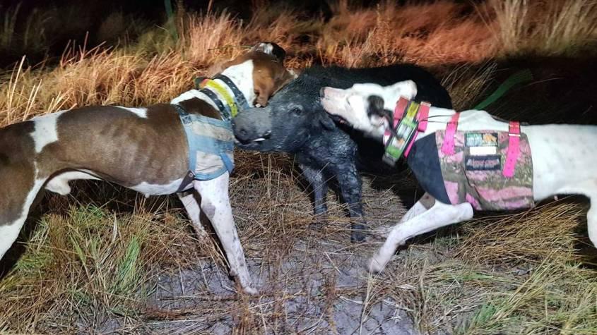 australia pig dogging