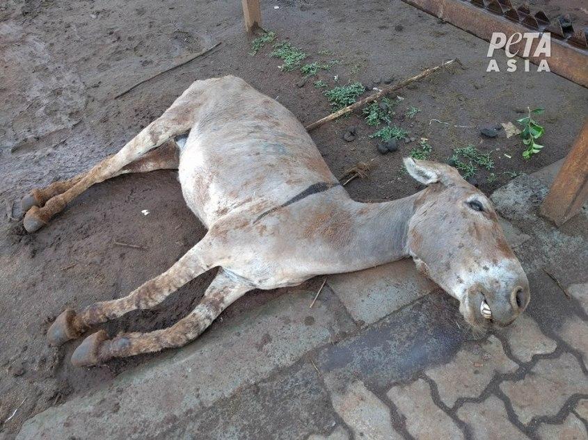Esel-Schlachtung-Kenia-PETA-Asia