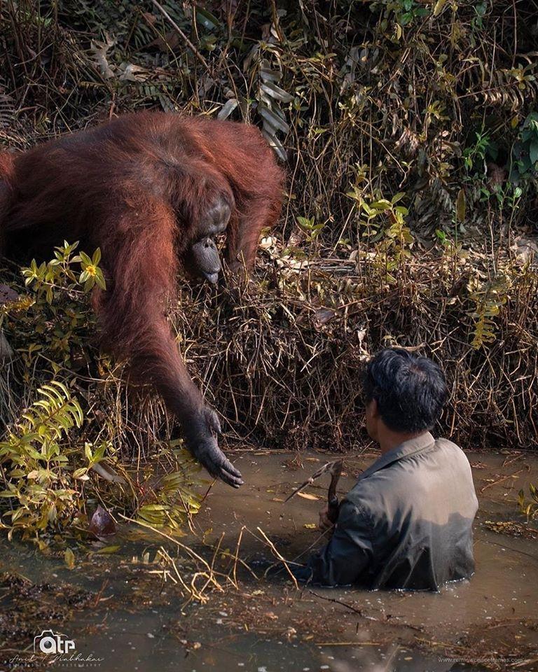 orangutan und menscho