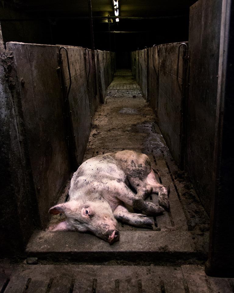 schönes Foto mit totem chwein und Spruchpg